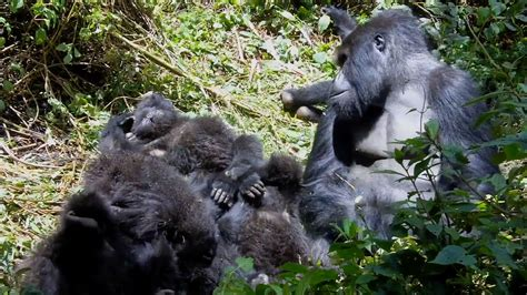 Male gorillas who babysit have five times more babies