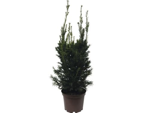 Eibe FloraSelf Taxus baccata 'Westerstede' H 60-70 cm Co 7