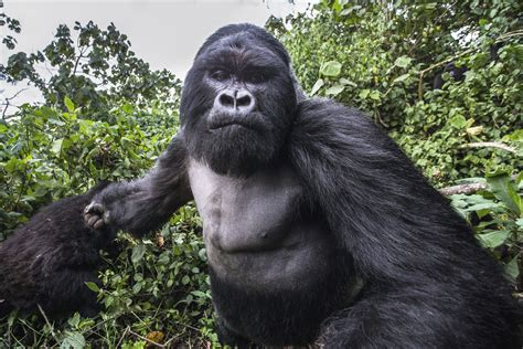 Photographer gets punched by 30st gorilla in Rwanda