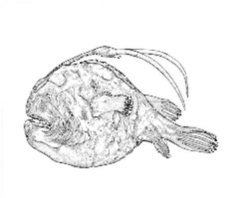 Deep-sea Anglerfishes (Melanocetidae and Ceratiidae